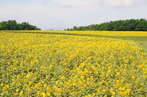 北海道北竜町のひまわり畑