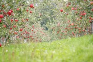 北海道ユニファームりんご