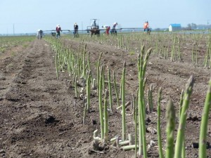 北海道のアスパラ生産量・収穫量